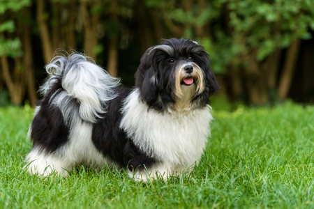 Happy little black and white havanese puppy dog is standing in the grass