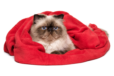 Cute persian colourpoint cat is lying covered with a red blanket - towel, isolated on white background Stock Photo