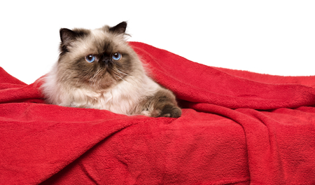 coverlet: Cute persian colourpoint cat is lying on a soft red blanket, isolated on white background Stock Photo
