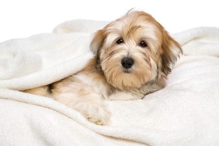 havanais: Cute reddish Bichon Havanese puppy dog is lying on a white bedspread. Isolated on a white background