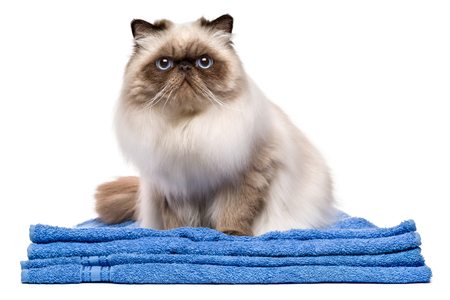 cat isolated: Cute groomed young persian seal colourpoint cat after bath is sitting on a blue towel - isolated on white background Stock Photo