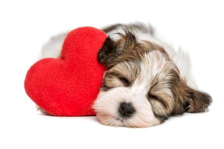 Perro de perrito de Havanese del amante Valentine que duerme y que soña con un corazón rojo, aislado en el fondo blanco