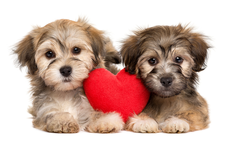 Twee minnaar Valentine Havanese-puppy liggen samen met een rood die hart, op witte achtergrond wordt geïsoleerd