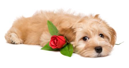 かわいい恋人 havanese 子犬犬人工の赤いバラと横になっている白い背景に分離