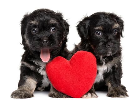woeful: Two cute Valentine Havanese puppies sitting together with a red heart, isolated on white background