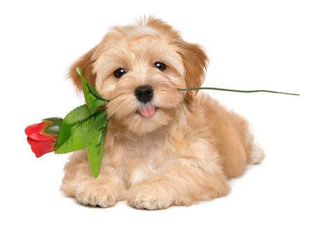 Gelukkig minnaar havanese puppy hond liggen met een kunstmatige rode roos in haar mond, geïsoleerd op een witte achtergrond Stockfoto