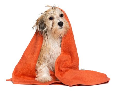De leuke natte havanese puppyhond na bad zit verpakt in een oranje die handdoek, op witte achtergrond wordt geïsoleerd