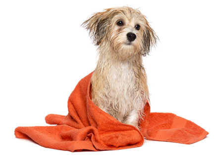 Cute wet havanese puppy dog after bath is sitting wrapped in an orange towel, isolated on white background