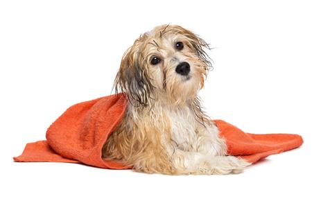 De leuke natte havanese puppyhond na bad ligt verpakt in een oranje die handdoek, op witte achtergrond wordt geïsoleerd