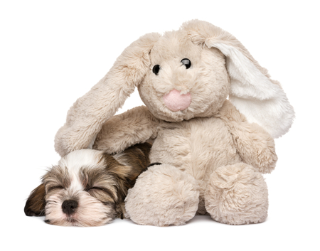 havanais: Little Havanese puppy dog sleeping with a rabbit plush toy - isolated on white background Stock Photo