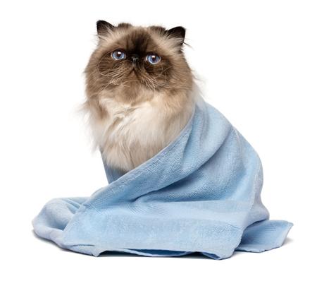 De leuke verzorgde Perzische verbindings colourpoint kat na bad zit verpakt in een blauwe die handdoek - op witte achtergrond wordt geïsoleerd