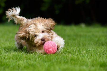 Speelse havanese puppyhond die een roze bal in het gras achtervolgt Stockfoto