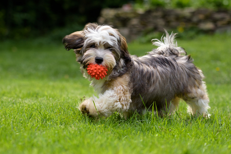 havanais: Playful havanese puppy dog walking with a red ball in his mouth in the grass and looking at camera