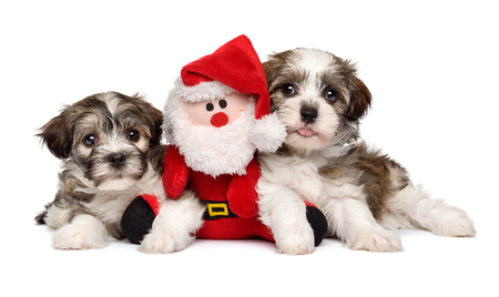 puppets: Two cute Bichon Havanese puppies lying with a little Santa Claus plush toy - Isolated on white background