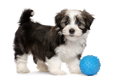 Cute silver sable havanese puppy dog standing with a blue toy ball, isolated on white background Stock Photo