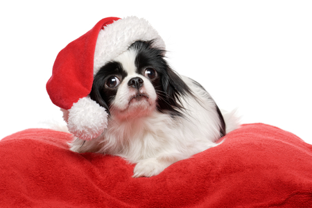 Lovely Japanese Chin dog in a Santa hat is lying on a red plush bed cover - Isolated on white background