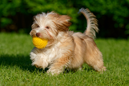 Playful chocolate colored havanese puppy dog walking with a yellow ball in her mouth in the grass