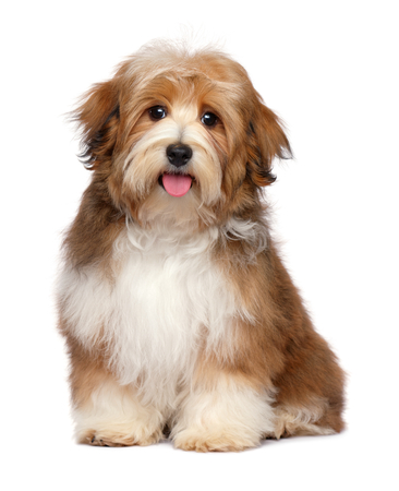 Cute happy red parti colored havanese puppy dog is sitting and looking at camera, isolated on white background