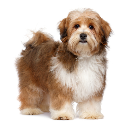 Cute red parti colored havanese puppy dog is standing and looking at camera, isolated on white background