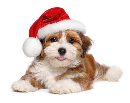 Happy smiling Bichon Havanese puppy dog is wearing a Christmas Santa hat - isolated on white background