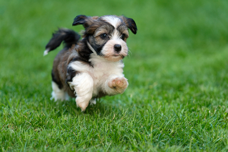 Cute little havanese puppy dog is running in the grass