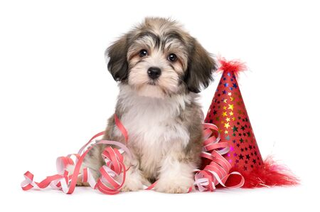 Cute Havanese puppy dog sitting among New Year party decorations - isolated on white background