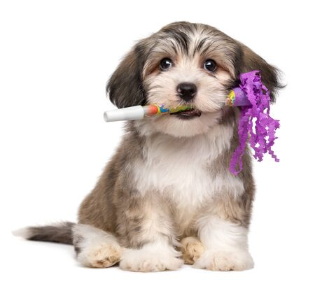 Cute Havanese puppy dog holds a New Year's Eve trumpet in his mouth - isolated on white background