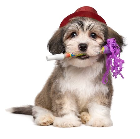 Cute havanese puppy with New Year's trumpet and added red party hat - isolated on white background