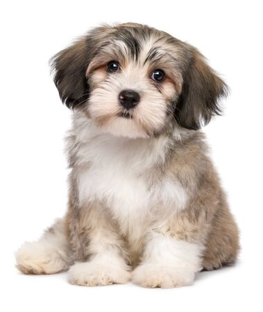 Beautiful little havanese puppy dog is sitting frontal and looking at camera - isolated on white background Фото со стока