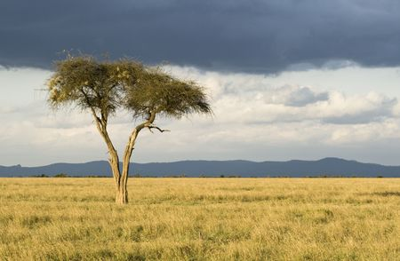 Lonely tree with dark clouds, Sweetwaters Game Reserve, Republic of Kenya, Eastern Africa