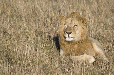 Male lion, Masai Mara, Kenya, Africa