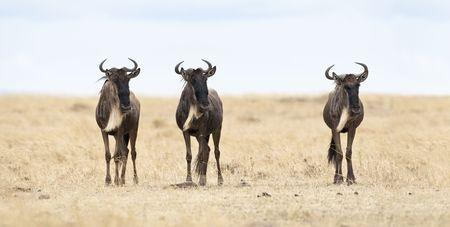 vigilant: Three vigilant gnus, Masai Mara, Republic of Kenya