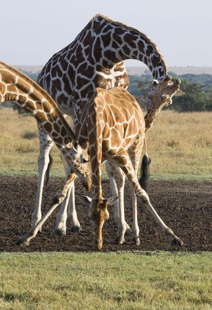 Three Giraffes, Giraffa camelopardalis reticulata, Sweetwaters Game Reserve, Republic of Kenya, Eastern Africa Stock Photo - 6048053