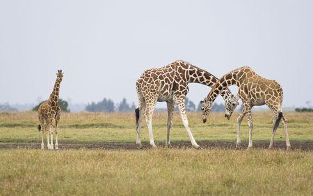 giraffa camelopardalis reticulata: Three giraffes, Giraffa camelopardalis reticulata, Republic of Kenya, Eastern Africa
