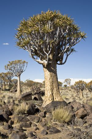 Quiver trees, Aloe dichotoma, southern Namibia, Africa Stock Photo - 6268805