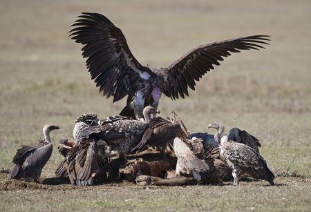 A group of vultures, Lake Nakuru National Park, Republic of Kenya, East Africa