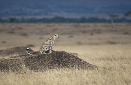 A hungry cheetah is looking for something to eat, Masai Mara, Republic of Kenya