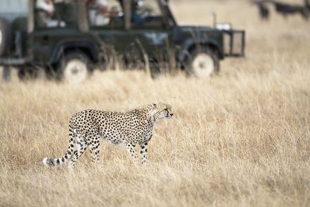 Safari tourists observing a cheetah, focus on foreground, blurred background, Masai Mara, Republic of Kenya, Africa