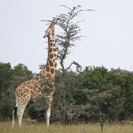 Reticulated Giraffe or Somali Giraffe, Republic of Kenya, East Africa Stock Photo - 6598290