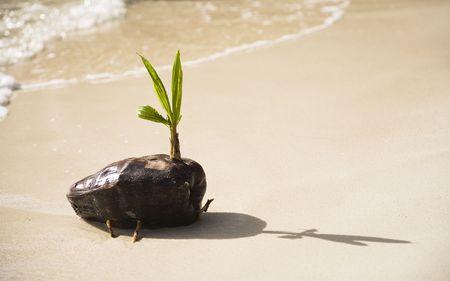 Coconut or Cocos nucifera seedling, La Digue, Republic of Seychelles, Indian Ocean