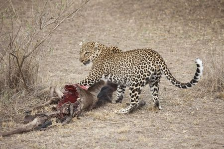 A leopard is trying to protect his kill, Masai Mara, Republic of Kenya, East Africa