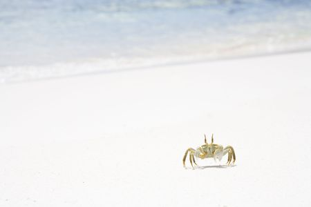 Horned Ghost Crab, Ocypode ceratophthalmus on a snow white beach with copy space, Anse Coco, La Digue, Republic of Seychelles, Indian Ocean