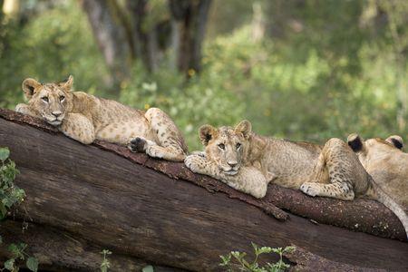 Lion cubs lying on a fallen tree, Lake Nakuru National Park, Kenya, East Africa Stock Photo