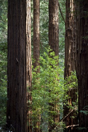 Group of Coast Redwoods, Sequoia sempervirens, Muir Woods National Monument, Marin County, California, United States