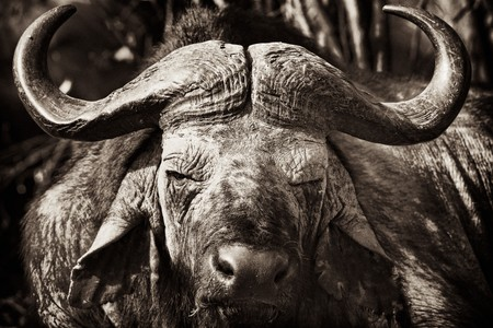 African Buffalo with dried mud on his face, Masai Mara, Republic of Kenya, East Africa
