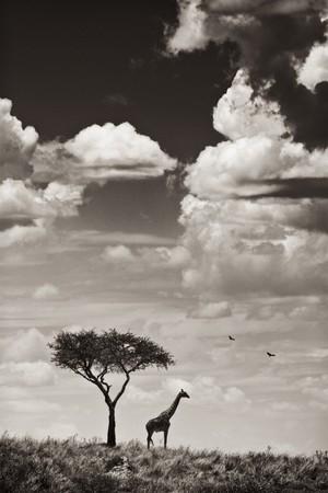 A giraffe and a tree seen through the shimmering hot air, Masai Mara, Republic of Kenya, East Africa Stock Photo