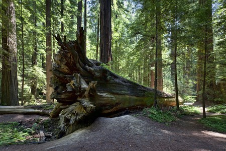 A fallen giant coast redwood, Humboldt Redwoods State Park, California, USA Stock Photo