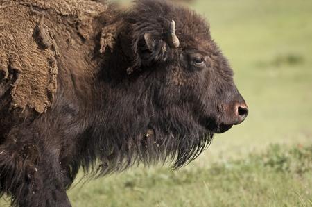 American bison, South Dakota, United States of America Stock Photo