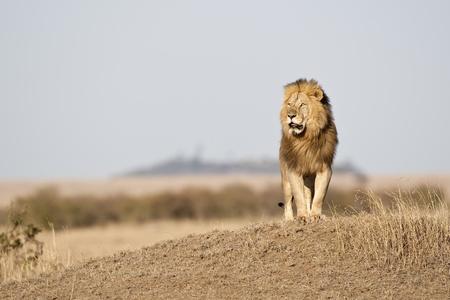 Big männlichen Löwen im Morgenlicht, Masai Mara, Republik Kenia, Ostafrika