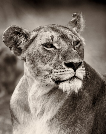 Portrait of a proud lioness in the Masai Mara, Kenya, East Africa Stock Photo